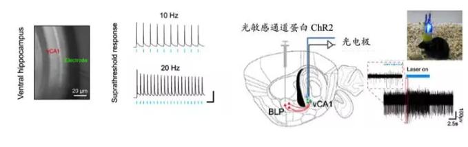 该研究工作的合作者来自中科院深圳先进技术研究院脑认知与脑疾病研究所的王立平团队和王建枝团队,充分利用深圳先进技术研究院开放的光遗传技术研发平台,结合光遗传技术同步光刺激与电生理记录技术,向BLP的兴奋性神经元注入一个光依赖的发动机光敏感通道蛋白(Channelrhodopsin2, ChR2),当用蓝光照射这些细胞时,它们被兴奋,将神经电冲动向下传递并在突触连接处释放出兴奋性的神经递质谷氨酸,后者与下游vCA1神经元上的相关受体结合而兴奋细胞,表现为电极记录到的神经元放电率上升。结合行为学分析,该研